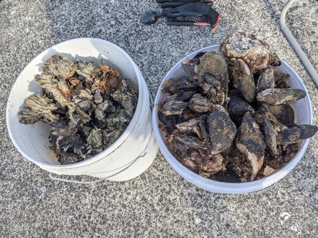 コブダイ 牡蠣 イガイ