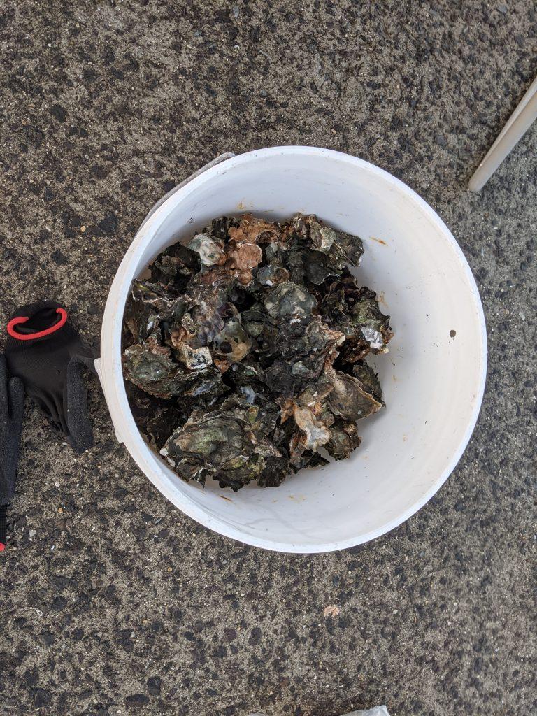 コブダイ 撒き餌 牡蠣殻